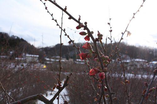 福島県福島市 花見山公園の情報2018年1月5日  ぼけ