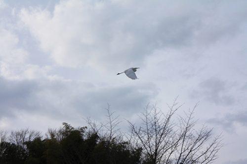 福島県福島市 花見山公園の情報2018年1月5日 白鷺 180105H9856