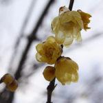 福島県福島市 花見山公園の情報2018年1月5日 蠟梅 180105H9886