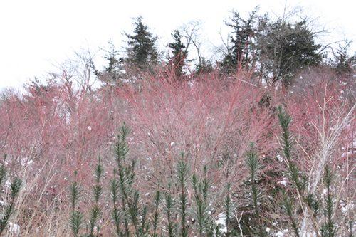 福島県福島市 花見山公園の情報2018年1月5日 サンゴカク 180105H9901
