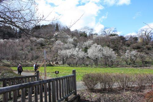 福島県福島市 花見山公園の情報2018年3月23日 IMG_0183