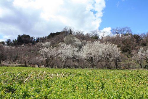 福島県福島市 花見山公園の情報2018年3月23日 IMG_0187