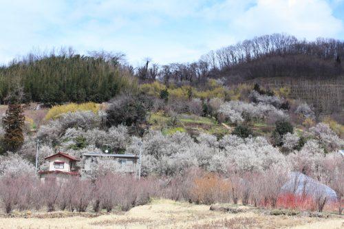福島県福島市 花見山公園の情報2018年3月23日 IMG_0236