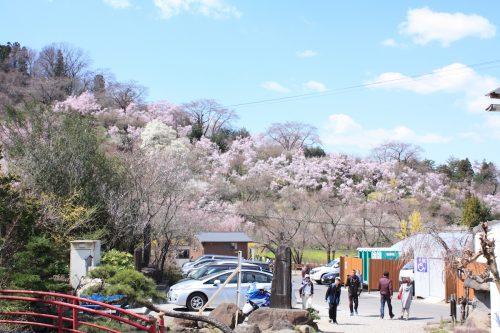 福島県福島市 花見山公園の情報2018年3月30日 IMG_0277