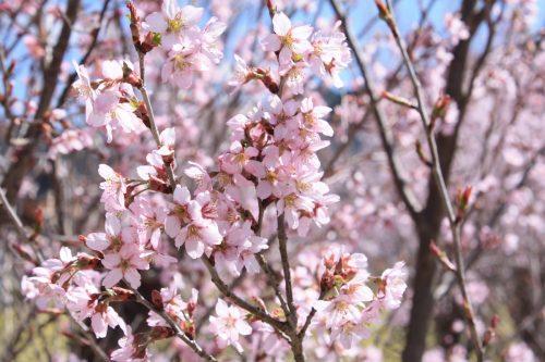 福島県福島市 花見山公園の情報2018年3月30日 IMG_0280