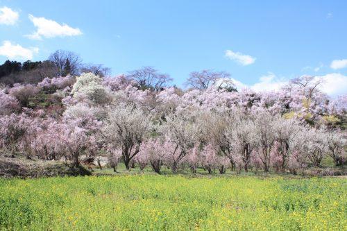 福島県福島市 花見山公園の情報2018年3月30日 IMG_0288