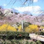 福島県福島市 花見山公園の情報2018年3月30日 IMG_0297