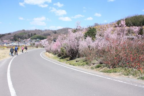 福島県福島市 花見山公園の情報2018年3月30日 IMG_0321