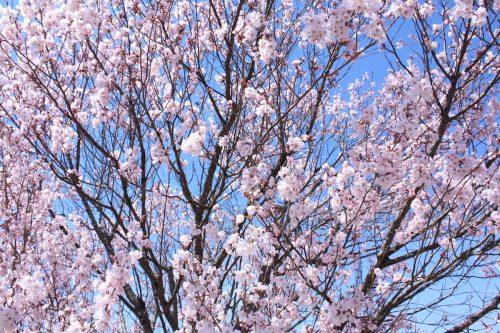 福島県福島市 花見山公園の情報2018年3月30日 IMG_0332