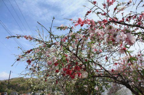 福島県福島市 花見山公園の情報2018年4月16日 IMG_0692