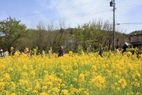 福島県福島市 花見山公園の情報2018年4月16日 IMG_0703