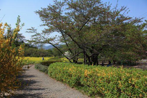 福島県福島市 花見山公園の情報2018年4月20日 IMG_0717