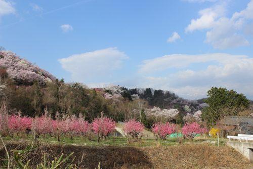 福島県福島市 花見山公園 2018年4月4日 IMG_7922