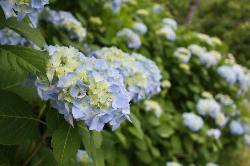 福島県福島市 花見山公園の情報2018年6月19日 IMG_4849