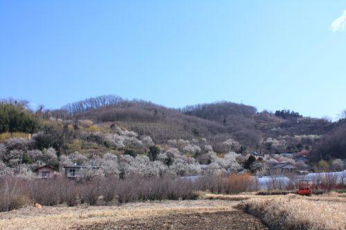 福島県福島市 花見山公園の情報 2019年3月13日 IMG_5660