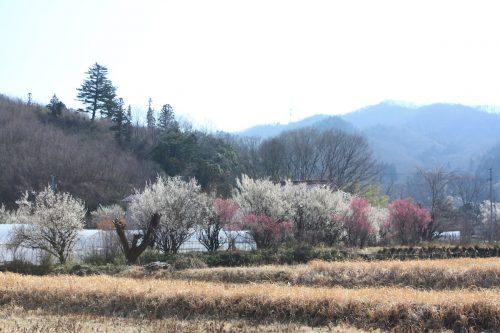 福島県福島市 花見山公園の情報 2019年3月13日 IMG_5661