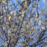 福島県福島市 花見山公園の情報 2019年3月13日 IMG_5662