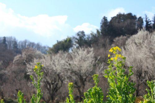 福島県福島市 花見山公園の情報 2019年3月13日 IMG_5664