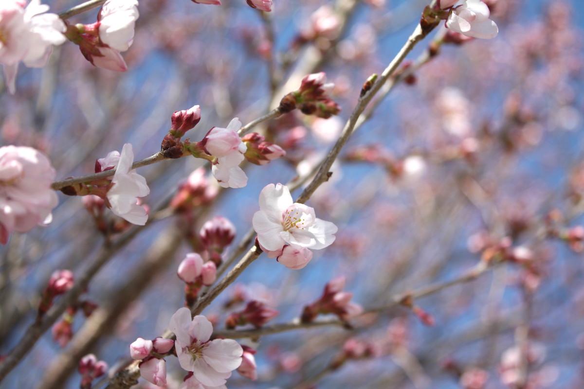 福島県福島市 花見山公園の情報 2019年3月26日 IMG_5673