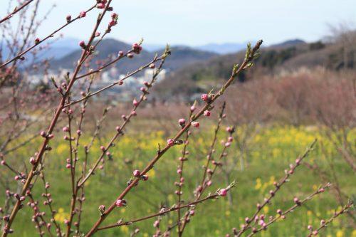 福島県福島市 花見山公園の情報 2019年3月26日 IMG_5682