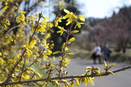 福島県福島市 花見山公園の情報 2019年3月26日