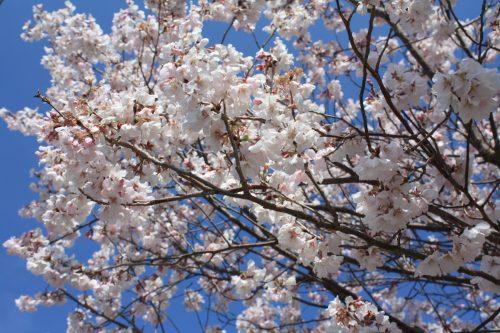 福島県福島市 花見山公園の情報 2019年4月5日 IMG_5693