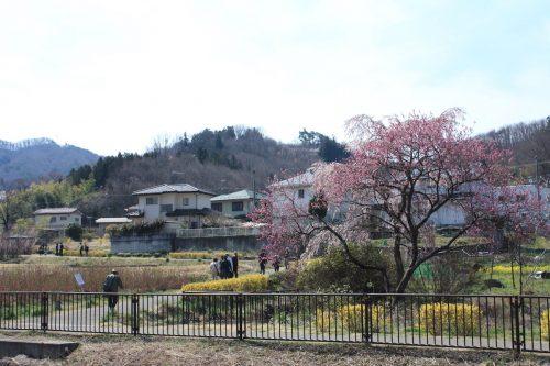 福島県福島市 花見山公園の情報 2019年4月5日 IMG_5698