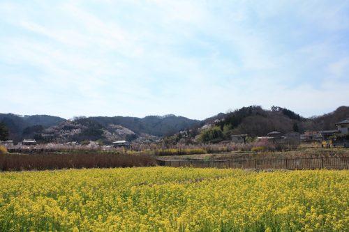 福島県福島市 花見山公園の情報 2019年4月5日 IMG_5699
