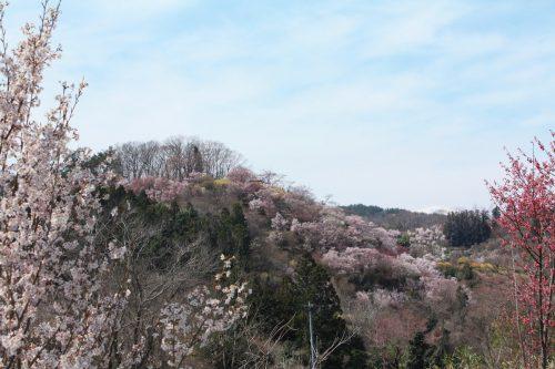 福島県福島市 花見山公園の情報 2019年4月5日 IMG_5705