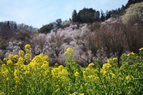 福島県福島市 花見山公園の情報 2019年4月5日 IMG_5710