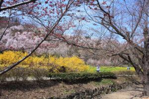福島県福島市 花見山公園の情報 2019年4月5日 IMG_5715