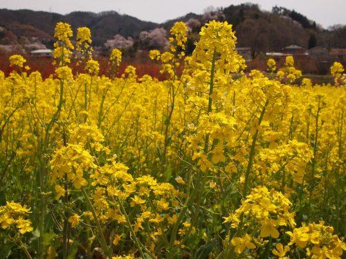 福島県福島市 花見山公園の情報 2019年4月17日