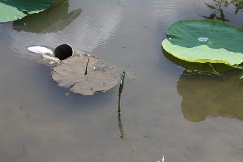 2019年8月6日福島県福島市 花見山公園の情報。蓮池にてトンボも羽休め