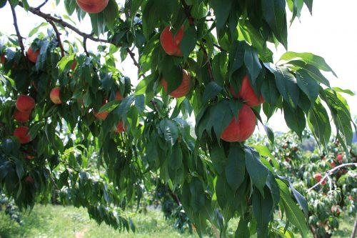2019年8月6日福島県福島市 花見山公園の情報。色づいた桃