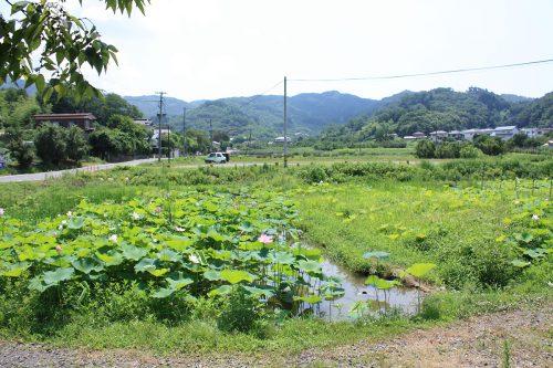 2019年8月6日福島県福島市 花見山公園の情報。蓮池1