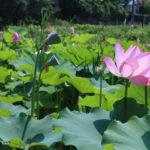 2019年8月6日福島県福島市 花見山公園の情報。蓮池2
