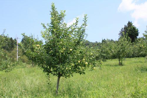2019年8月6日福島県福島市 花見山公園の情報。林檎の生育