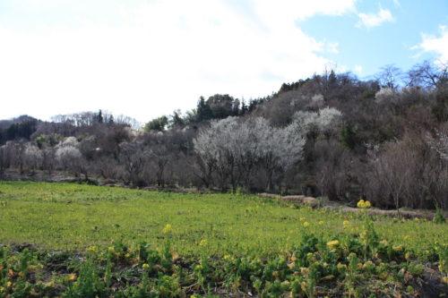福島県福島市 花見山公園の情報 2020年3月3日 IMG_6873