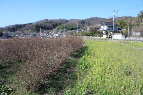 福島県福島市 花見山公園の情報 2020年3月19日 IMG_6909