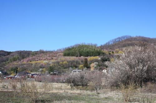 福島県福島市 花見山公園の情報 2020年3月19日 IMG_6911
