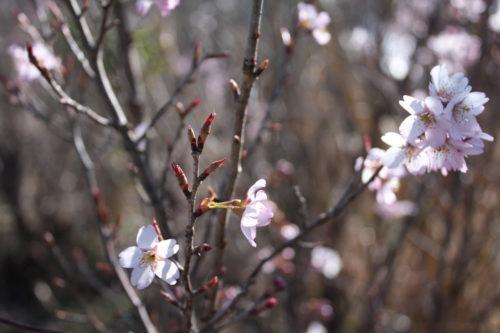 福島県福島市 花見山公園の情報 2020年3月19日 IMG_6914