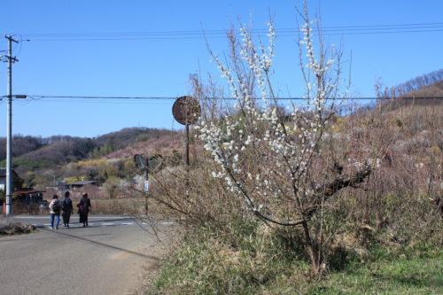 福島県福島市 花見山公園の情報 2020年3月19日 IMG_6915