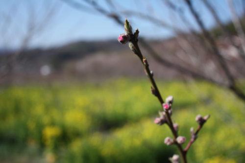 福島県福島市 花見山公園の情報 2020年3月19日 IIMG_6920