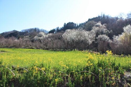 福島県福島市 花見山公園の情報 2020年3月19日 IMG_6922
