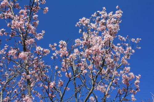 福島県福島市 花見山公園の情報 2020年3月19日 IMG_6930