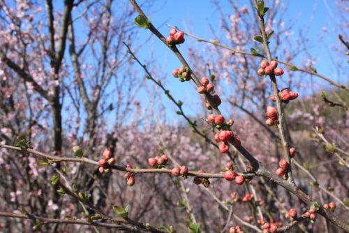 福島県福島市 花見山公園の情報 2020年3月19日 IMG_6931
