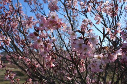 福島県福島市 花見山公園の情報 2020年3月19日 IMG_6933