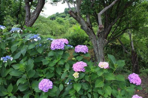 福島県福島市 花見山公園の情報 2020年7月2日IMG_7
