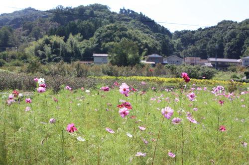 福島県福島市花見山公園2020年10月2日画像7344コスモス