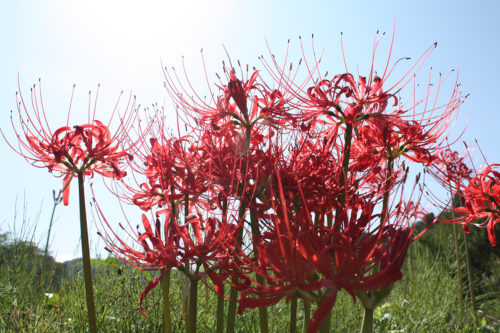 福島県福島市花見山公園2020年10月2日画像7347彼岸花